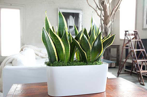 10-HOUSE-PLANTS-TO-IMPROVE-WELLBEING-14